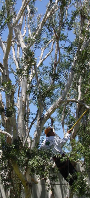 Tree Trimming in Camarillo, California