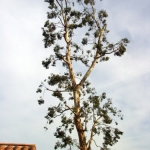 A large branch from this eucalyptus tree broke and landed on a neighbor's tile roof, causing substantial damage and expensive repairs. This photo shows the tree after Camarillo - Moorpark Tree Service performed corrective pruning to re-balance the tree.