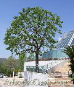 A professionally manicured tree adds beauty to the landscaping of this Malibu home.