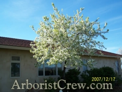 A professionally planted tree blossoms in springtime.