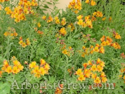 Drought-resistant native wildflowers in Camarillo landscaping