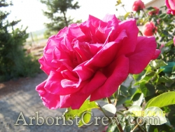 Roses are drought tolerant and enhance the beauty of Camarillo landscaping.
