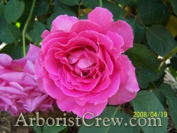 Drought-tolerant camellias in Ventura County landscaping