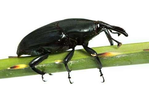 South American Palm Weevil