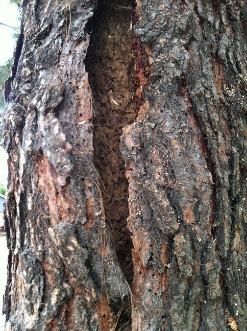 Pine Bark Beetles are small, reddish-brown beetles about 1/4 to 1/3 of an inch long. They are able to fly; they reside in trees and can cause substantial damage to trees in Ventura County.