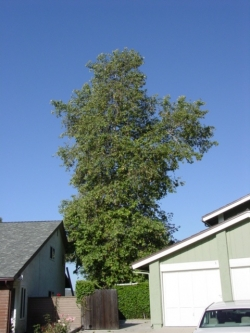 Shaggy Tree in Ventura County: Before