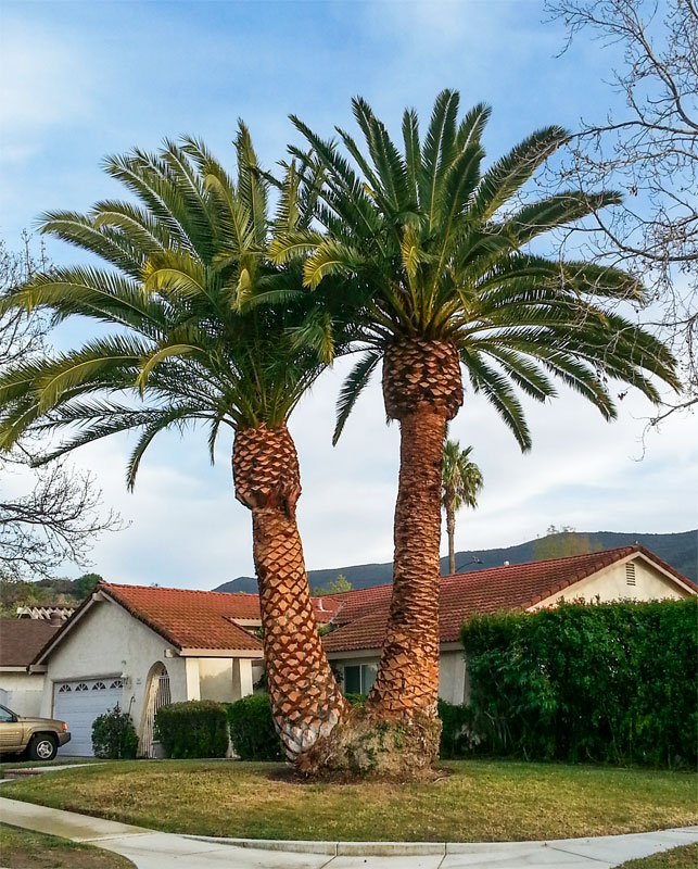 Beautifully manicured date palms after trimming!