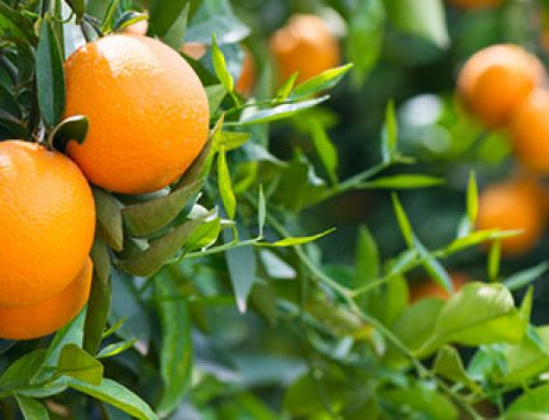 Citrus Tree Care