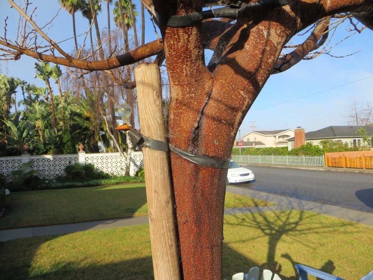 This mulberry tree cracked because of poor speciman selection from the nursery.