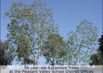 Sycamore trees at Pleasant Valley School District in Camarillo