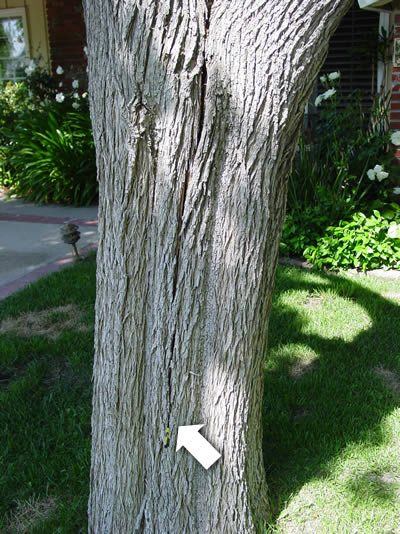 Closeup view of tree in Camarillo with weakened trunk.