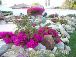 Bougainvillea is naturally drought-tolerant, especially once they are established.