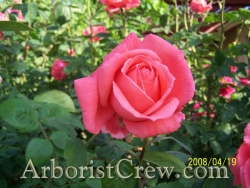 Drought-resistant roses beautify this Camarillo home's landscaping.
