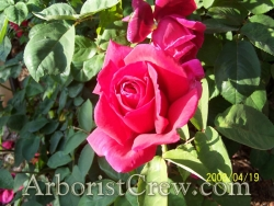 A beautiful red rose enhances the landscaping of this Camarillo home.