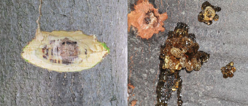 Scraping avocado tree bark for signs of Ambrosia Beetle (Euwallacea)