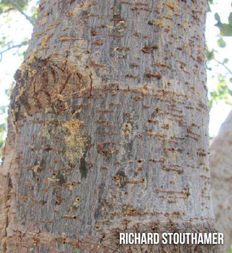 Box Elder infested with Ambrosia Beetle (Euwallacea)