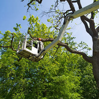 Tree Trimming & Pruning in Ventura County & west Los Angeles County