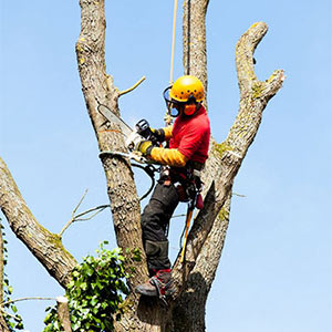 Tree Removal in Ventura County & west Los Angeles County